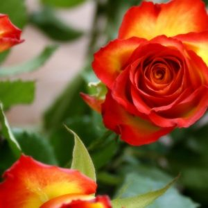 Different ways of seeing a rose