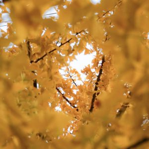 The-yellow-tree