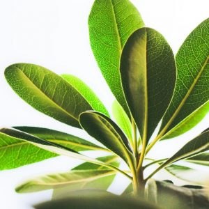 Chlorophyll